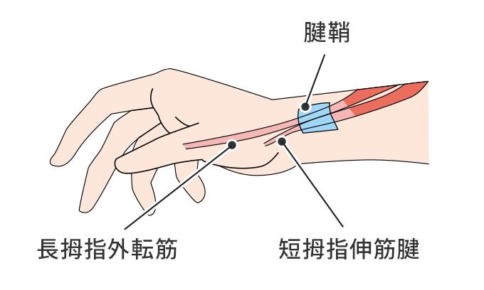 腱鞘の解説図